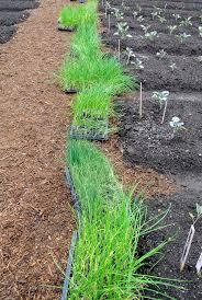 planting onions in the vegetable garden the martha stewart blog