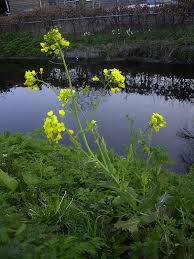 wisconsin native plants brassica rapa wikipedia