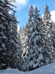 free photo snow trees sky snowy firs winter fir max pixel