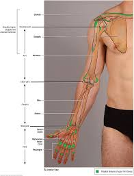 How To Palpate Subscapularis Duke Anatomy Lab 2 Pre Lab Exercise