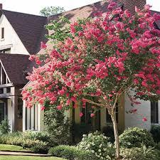 crape myrtle ornamental tree in the front yard ornamental trees