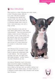 long hair chihuahua hair growth what to expect what is a blue chihuahua how are blue chihuahua puppies different