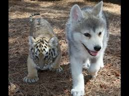 tiger and wolf babies