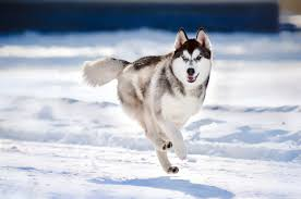 siberian husky wallpapers pics pictures images photos