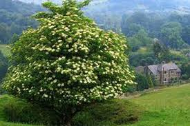 are elderberry bushes poisonous norm s farms