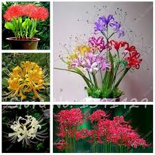lycoris radiata seeds tropical ornamental plants bana seeds