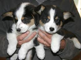 royal hearts corgis previous puppies 1