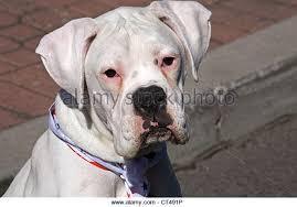 boxer dog white boxer dog funny stock photos u0026 boxer dog funny stock images alamy