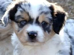 australian shepherd rescue san diego and friends miniature australian shepherd puppies in california