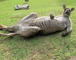 kangaroo u0027censored for facebook u0027 draws outrage for some reason