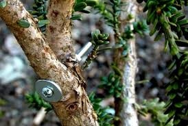 tree repair with screws