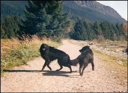 belgian sheepdog akc black ice belgian sheepdogs akc breed standard