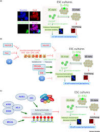 linking telomere regulation to stem cell pluripotency trends in