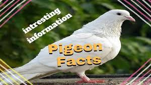olx delhi home theater pigeon information kabootar ki maloomat in urdu hindi youtube
