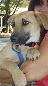 belgian shepherd vancouver adopt nicole on black mouth cur dog and beautiful creatures