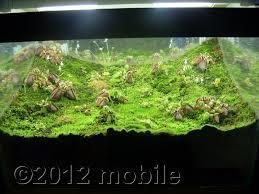 cephalotus tank pitcher plants