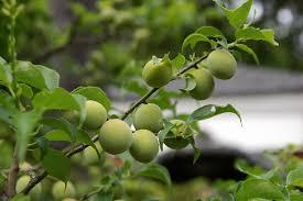 japanese plum information how to grow satsuma plums