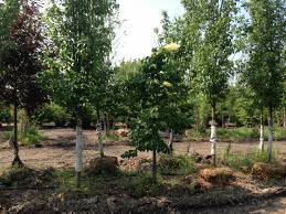 japanese lilac tree ornamental trees for sale hoosier home