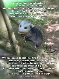 Possum In My Backyard 59 Best Opossum Love Images On Pinterest Animal Pictures Baby