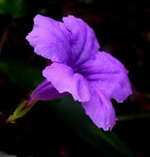 petunia flowers purple petunia outdoor flowers petunias flower