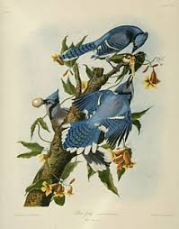 cuisine cagnarde blanche audubon the birds of america from drawings made in