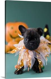 Bulldog Halloween Costumes French Bulldog Puppy Wearing Halloween Costume Big Canvas