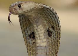 facts about cobras
