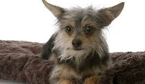 short haired chorkie yorkie chihuahua mix all about the fiesty chorkie 1 info