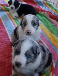 australian shepherd fur 11 best mini aussies images on pinterest aussies mini aussie