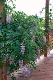 wild for wisteria state by state gardening web articles