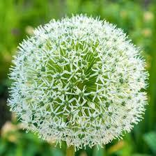 allium stipitatum white ornamental