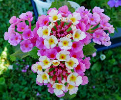 Fragrant Flowers For Garden - lantana beautiful plant with fragrant flowers for the garden