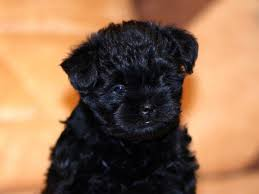 affenpinscher good bad christopher author at doglers page 15 of 68