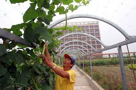 roof vegetable garden feeds workers 3 chinadaily com cn