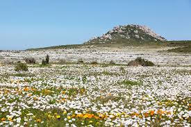 A Garden Of Flowers by Tips For Flower Viewing In Namaqualand U0026 The Cederberg