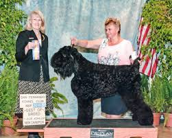 who won the dog show on thanksgiving conformation dog shows american kennel club