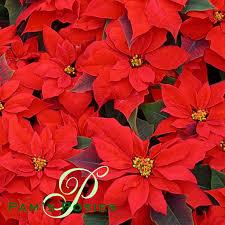 december flower is the poinsettia pam u0027s posies