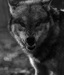 8 best wolf images on pinterest angry animals angry wolf and