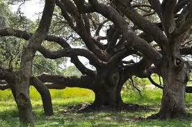 the big tree dallas garden buzz