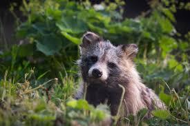 free high resolution wallpaper raccoon
