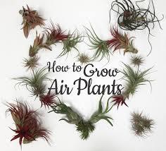 Air Plants Air Plants Archives Freytags Florist