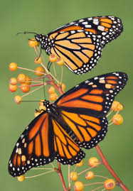 monarch butterflies facts to amaze your