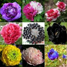 Flower Seeds Online - online get cheap peony seeds aliexpress com alibaba group