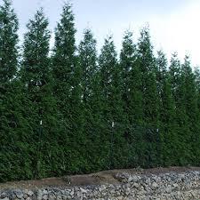 evergreen trees evergreen shrubs greatgardenplants