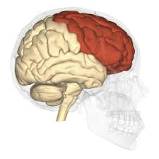 Human Anatomy Integumentary System Lab 1 The Brain U0026 Integumentary System Not Finished Human