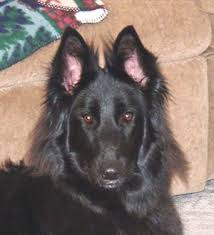 belgian shepherd ohio belgian sheepdog