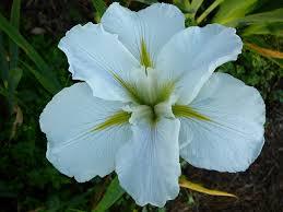 louisiana native plants world of irises what are louisiana irises and can i grow them