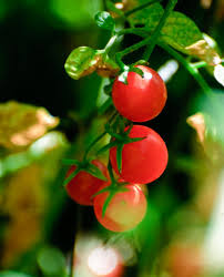 currant tomato plants u2013 currant tomato varieties to grow in garden