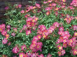 drift roses pink drift roses plants