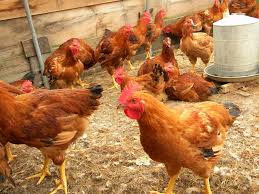 chicken breeds for meat in kenya with kenbro chickens the best